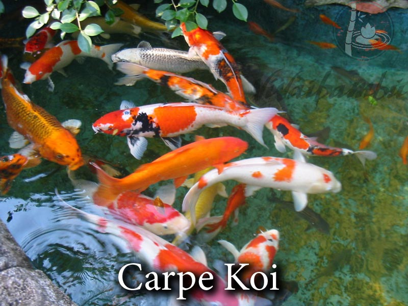 Carpe koi vivaibamb for Costo carpa koi