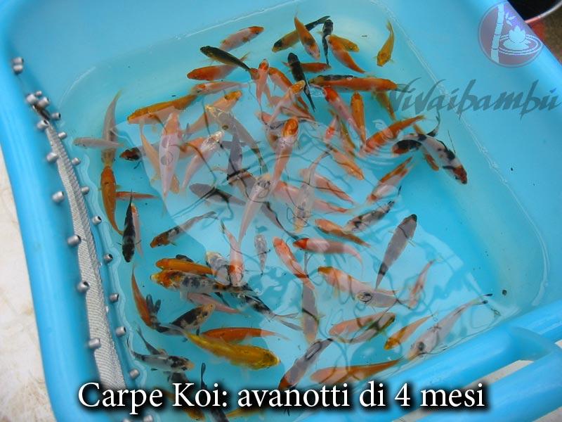 Carpe koi vivaibamb for Carpe koi croissance