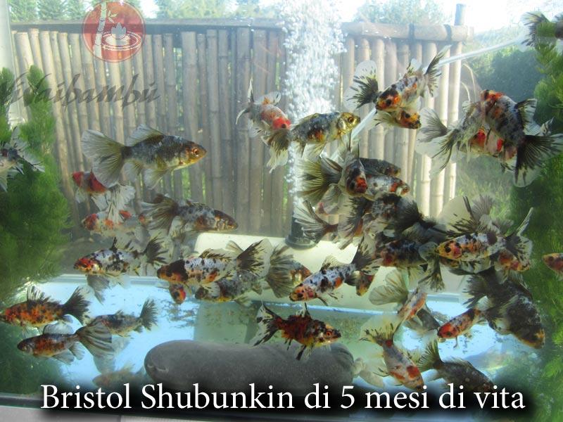 Pesci bristol shubunkin vivaibamb for Vaschetta pesci rossi offerte