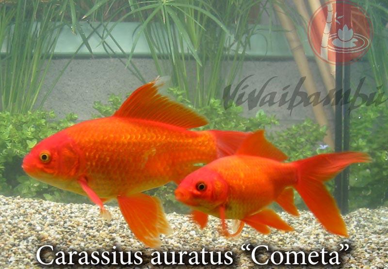 Pesci rossi e carpe koi page 2 vivaibamb for Pesci rossi carpe