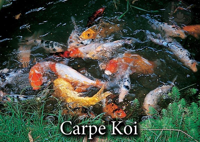 Carpe koi page 2 vivaibamb for Tarif carpe koi