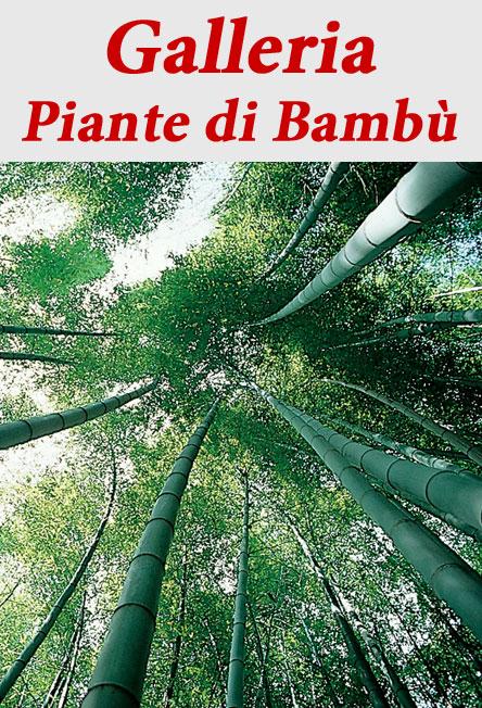 Piante di Bambù  Page 4  VivaiBambù