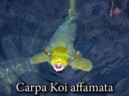 Carpe koi page 2 vivaibamb for Carpe koi vendita online