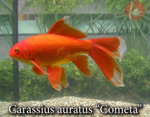 Pesci rossi e carpe koi vivaibamb for Alimentazione pesci rossi laghetto