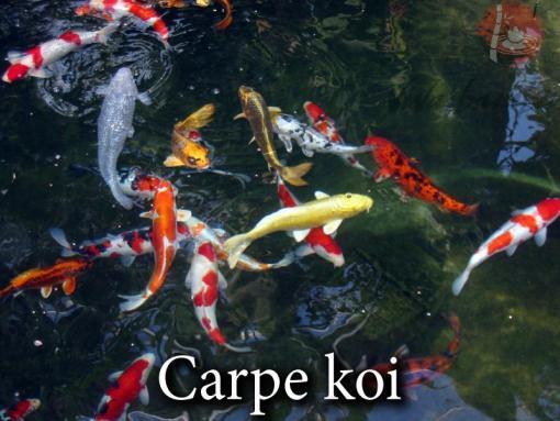 Carpe koi vivaibamb for Carpe koi charente maritime
