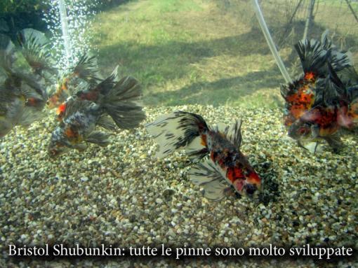 Pesci bristol shubunkin page 3 vivaibamb for Vaschetta pesci rossi offerte