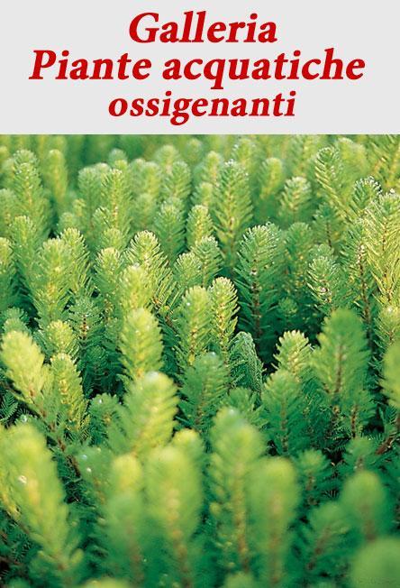 piante acquatiche ossigenanti vivaibamb