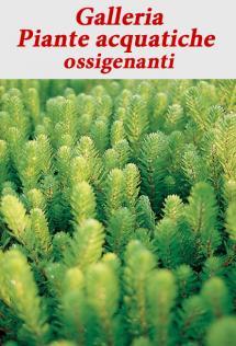 Piante acquatiche ossigenanti vivaibamb for Piante da laghetto ossigenanti